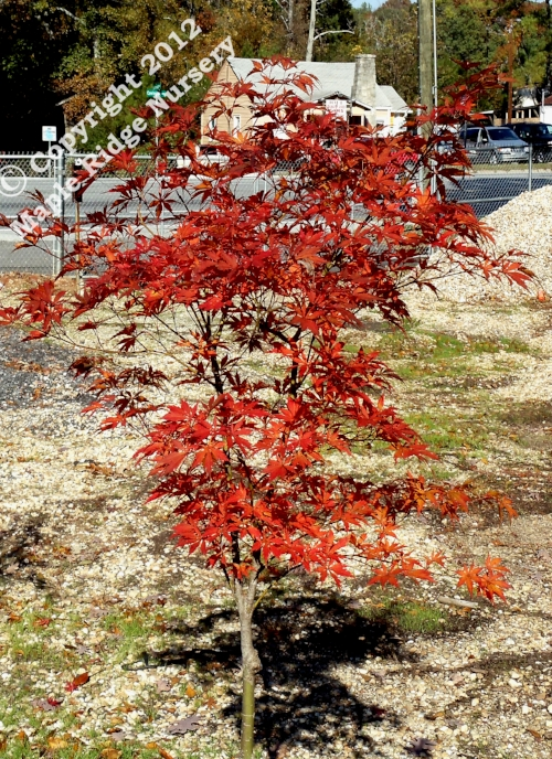 Acer_palmatum_Inazuma_November_2010_Maple_Ridge_Nursery.jpg