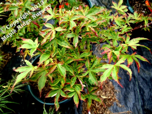 Acer_palmatum_Itame_nibluki_April_2012_Maple_Ridge_Nursery.jpg