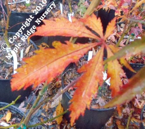 Acer_palmatum_JJ_Fire_Red_November_2011_Maple_Ridge_Nursery.jpg