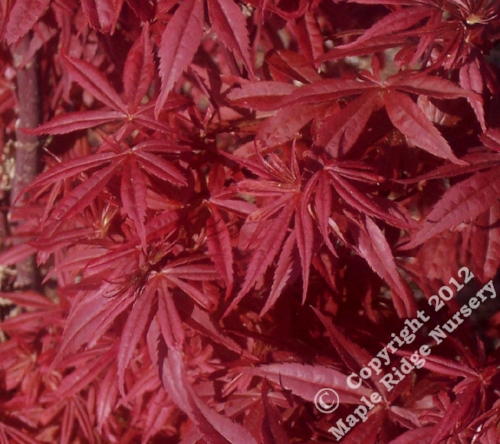 Acer_palmatum_Kandy_Kitchen_April_2009_Maple_Ridge_Nursery.jpg