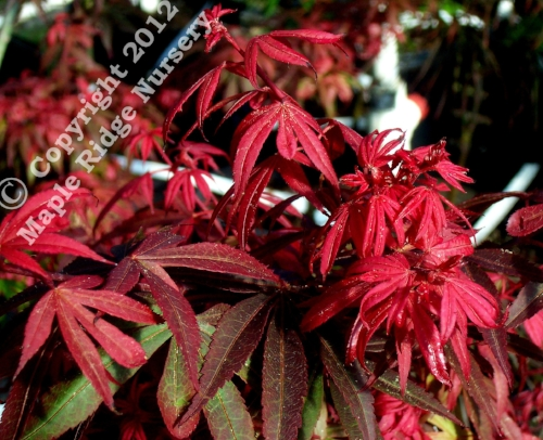 Acer_palmatum_Kandy_Kitchen_May_2009_Maple_Ridge_Nursery.jpg