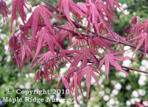 Acer_palmatum_kasagi_yama_April_Maple_Ridge_Nursery.jpg