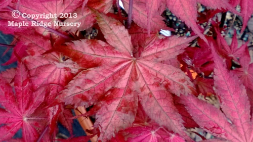 Acer_palmatum_Kasagi_yama_March_2013_Maple_Ridge_Nursery.jpg