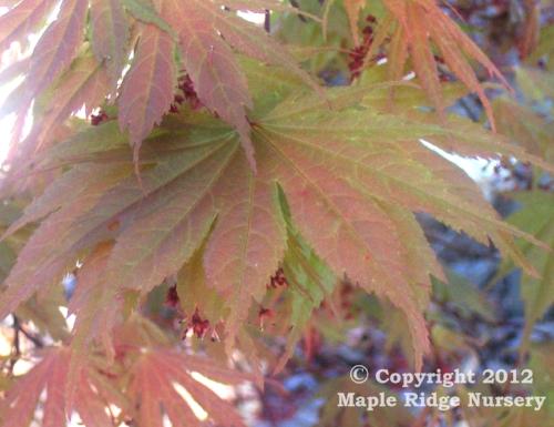 Acer_palmatum_Kinran_April_2009_Maple_Ridge_Nursery.jpg