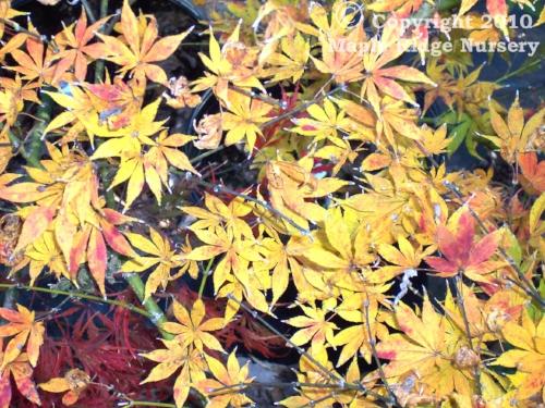 Acer_palmatum_Kinran_November_Maple_Ridge_Nursery.jpg