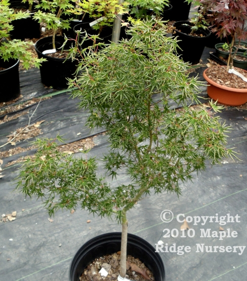 Acer_palmatum_Kurui_jishi_April_2012_Maple_Ridge_Nursery_1.jpg