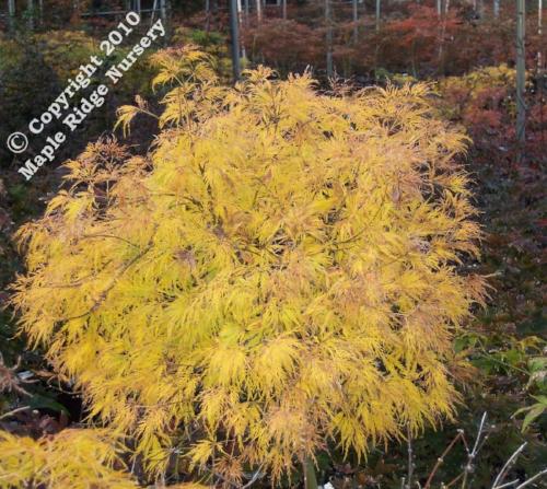 Acer_palmatum_Lemon_Lime_Lace_November_Maple_Ridge_Nursery.jpg