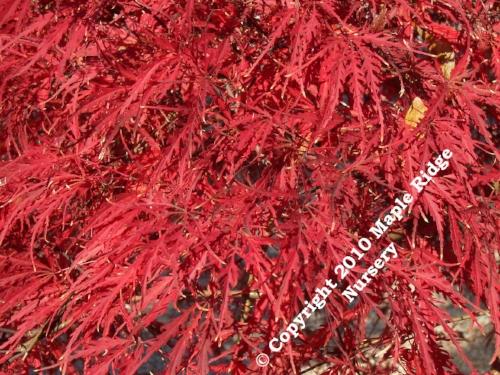 Acer_palmatum_Lion_heart_November_Maple_Ridge_Nursery.jpg