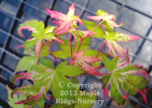 Acer_palmatum_Mardis_Gras_April_2013_Maple_Ridge_Nursery.jpg