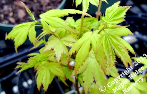 Maple Ridge Nursery
