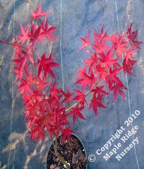 Acer_palmatum_Mizuho_beni_November_2013_Maple_Ridge_Nursery.jpg