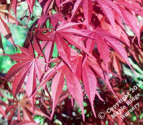 Acer_palmatum_Musashino_April_2009_Maple_Ridge_Nursery.jpg