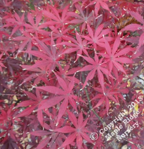 Acer_palmatum_Musashino_November_2010_Maple_Ridge_Nursery_1.jpg