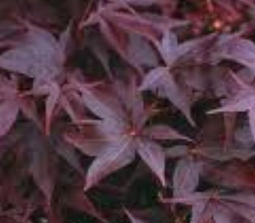 Acer_Palmatum_Nigrum_April_Maple_Ridge_Nursery.jpg