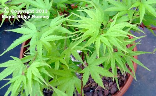 Acer_palmatum_Nishiki_sho_April_2013_Maple_Ridge_Nursery.jpg
