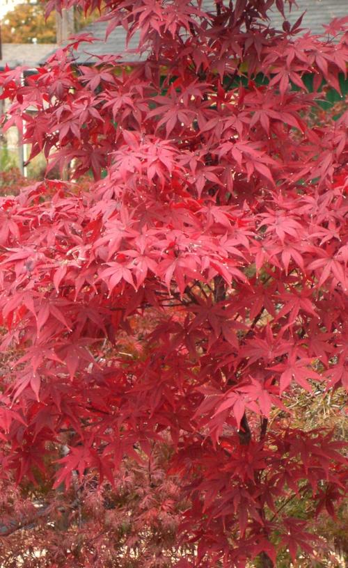 Acer_Palmatum_Nuresagi_November_Maple_Ridge_Nursery.jpg