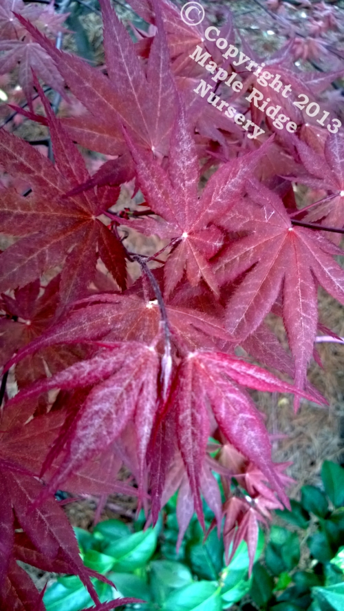 Acer_palmatum_O_kagami_April_2013_Maple_Ridge_Nursery.jpg