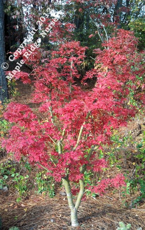 Acer_palmatum_Ojishi_November_2012_Maple_Ridge_Nursery.jpg