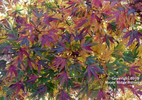 Acer_palmatum_Okushimo_November_2010_Maple_Ridge_Nursery.jpg
