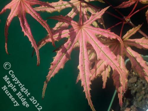 Acer_palmatum_Olson's_Frosted_Strawberry_April_2009_Maple_Ridge_Nursery_1.jpg