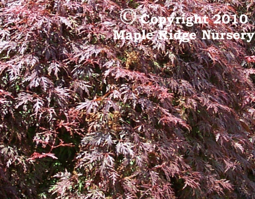 Acer_palmatum_Orangeola_June_Maple_Ridge_Nursery.jpg