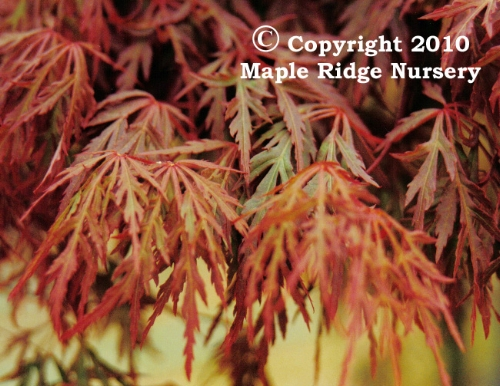 Acer_palmatum_Orangeola_March_Maple_Ridge_Nursery.jpg