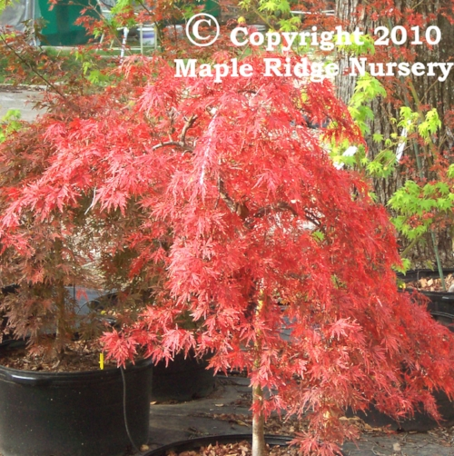 Acer_palmatum_Orangeola_November_Maple_Ridge_Nursery.jpg