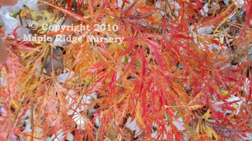 Acer_palmatum_Ornatum_November_2011_Maple_Ridge_Nursery.jpg