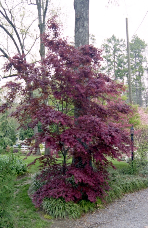 Acer_Palmatum_Oshio_Beni_Maple_Ridge_Nursery.jpg