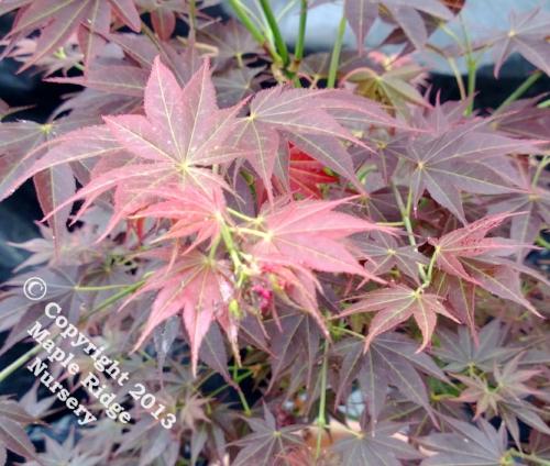 Acer_palmatum_Oshu_shidare_April_2013_Maple_Ridge_Nursery.jpg