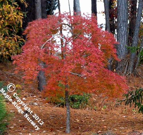 Acer_palmatum_Pendula_Julian_November_2012_Maple_Ridge_Nursery.jpg