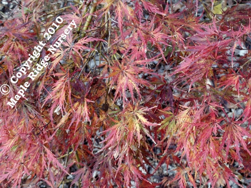 Acer_palmatum_Pendula_Julian_November_2011_Maple_Ridge_Nursery_1.jpg