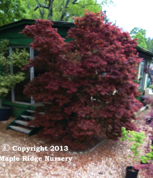 Acer_palmatum_Pixie_April_2013_Maple_Ridge_Nursery.jpg