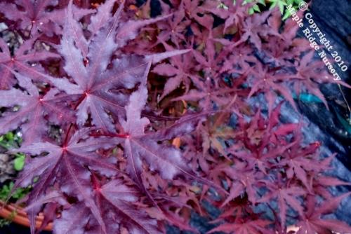 Acer_palmatum_Purple_Ghost_April_2012_Maple_Ridge_Nursery.jpg