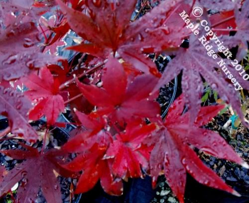 Acer_palmatum_Purple_Ghost_November_2012_Maple_Ridge_Nursery.jpg