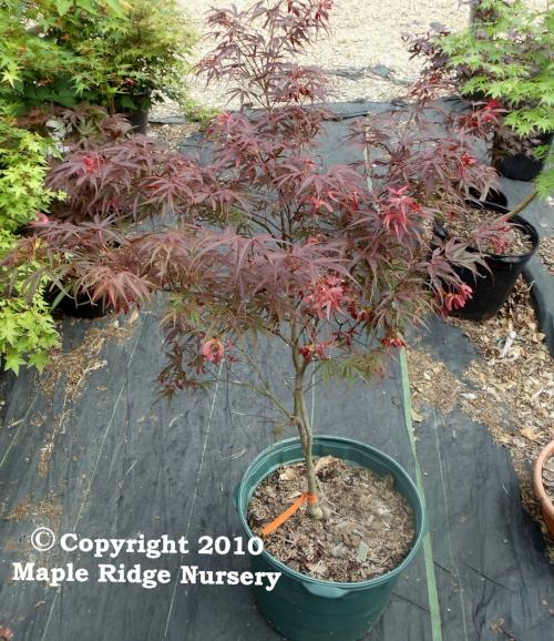 Acer_palmatum_Red_Cloud_April_2012_Maple_Ridge_Nursery_1.jpg