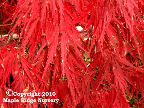 Acer_palmatum_Red_Dragon_October_Maple_Ridge_Nursery.jpg