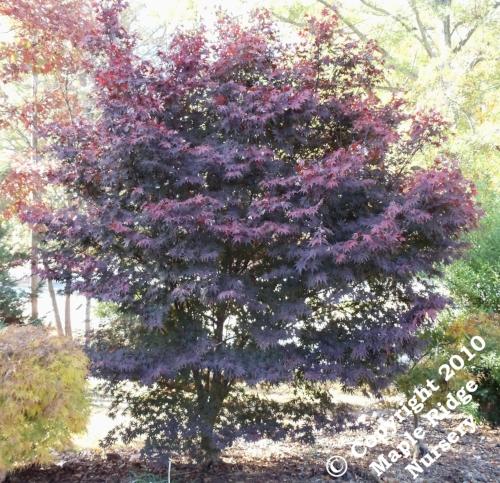 Acer_palmatum_Red_Emperor_Maple_Ridge_Nursery.jpg
