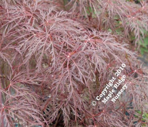 Acer_palmatum_Red_Feathers_April_2012_Maple_Ridge_Nursery.jpg