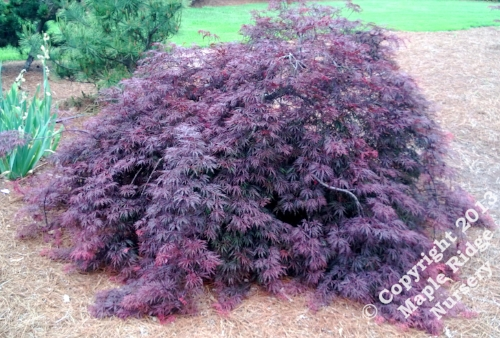 Acer_palmatum_Red_Select_April_2013_Maple_Ridge_Nursery.jpg
