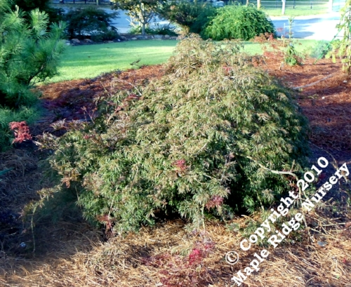 Acer_palmatum_Red_Select_August_2012_Maple_Ridge_Nursery.jpg
