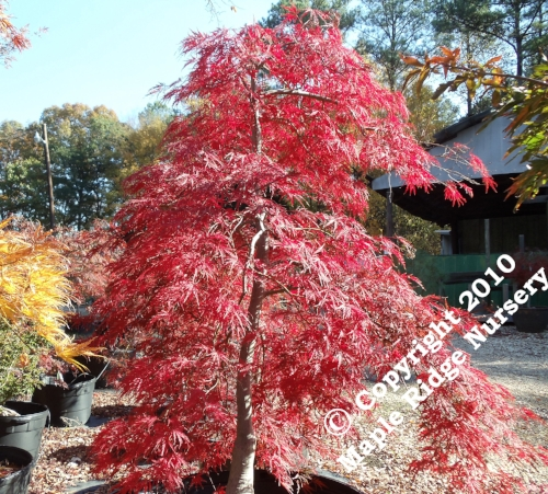 Acer_palmatum_Red_Select_November_2010_Maple_Ridge_Nursery.jpg