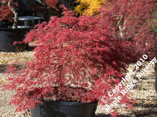 Acer_palmatum_Red_Select_November_2010_Maple_Ridge_Nursery_1.jpg