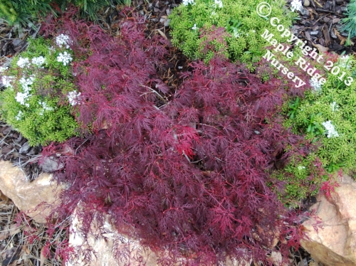 Acer_palmatum_Red_Spider_Web_April_Maple_Ridge_Nursery_1.jpg