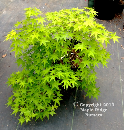 Acer_palmatum_Ryu_sei_April_2013_Maple_Ridge_Nursery.jpg