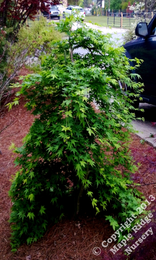 Acer_palmatum_Ryu_sei_April_2013_Maple_Ridge_Nursery_1.jpg