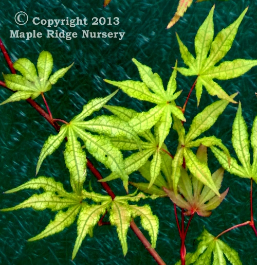Acer_palmatum_Sawa_chidori_June_2013_Maple_Ridge_Nursery.jpg