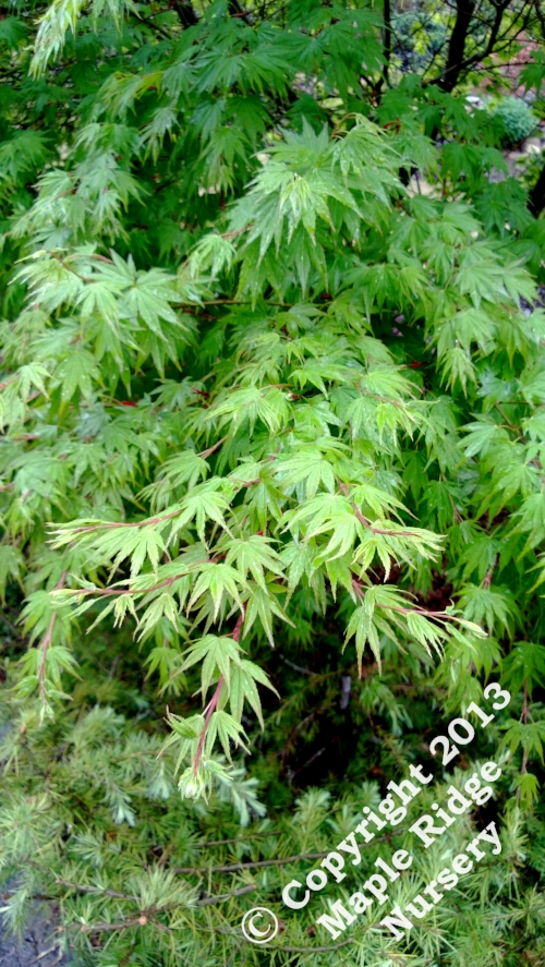 Acer_palmatum_Sazanami_April_2013_Maple_Ridge_Nursery.jpg