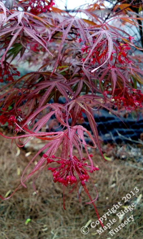 Acer_palmatum_Scolopendrifolinum_Rubrum_April_2013_Maple_Ridge_Nursery_1.jpg