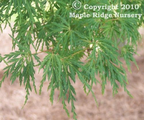 Acer_palmatum_Seiryu_Maple_Ridge_Nursery.jpg